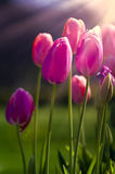 Pink Tulips in the Morning Sunshine Stock Photography