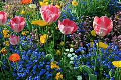Pink tulips and multicolored garden flowers Royalty Free Stock Photo