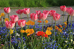 Pink tulips and multicolored garden flowers Royalty Free Stock Images