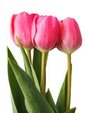 Pink Tulips. The national flower of Holland is Tulip Stock Photo