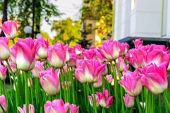 Pink tulips. Near the government building in Chernigov, Ukraine Stock Photography