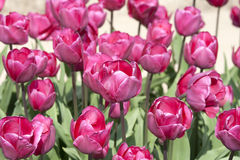 Pink tulips from the Netherlands Stock Photo