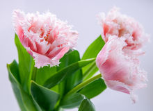 Pink tulips. On neutral background Stock Photos