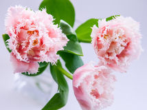 Pink tulips. On neutral background Royalty Free Stock Photography