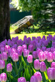 Pink tulips in old summer park Stock Images