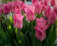 Pink tulips outside in parks and farms. Pink tulips outside in parks and country farm Royalty Free Stock Photo