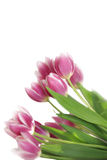 Pink tulips over white Royalty Free Stock Photos