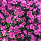 Pink tulips. Park in the pink tulips royalty free stock image