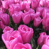 Pink tulips. Park in the pink tulips royalty free stock images
