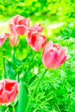 Pink tulips in the park Stock Image