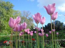 Pink tulips in park. Group of beautiful pink tulips in park Stock Photography