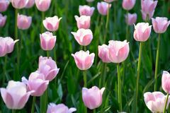 Pink tulips in the park with sunset sunlight Royalty Free Stock Photos