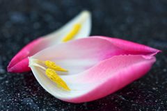 Pink Tulips petals macro shot. Pink Tulips petals isolated on black background, macro shot Royalty Free Stock Images