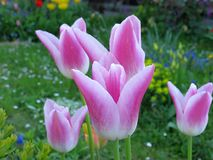 Pink tulips. Pikk tulips in a garden in springtime Stock Photo