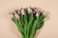 Pink tulips on pink background Stock Images