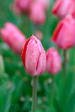 Pink tulips in rain Royalty Free Stock Photos