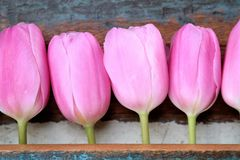 Pink tulips in a row, mother's day. Pink tulips in a row with old wooden background Royalty Free Stock Images