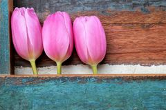 Pink tulips in a row with painted wooden background, mother's day. Pink tulips in a row, wooden background painted in the color turquoise, with room for Stock Photo