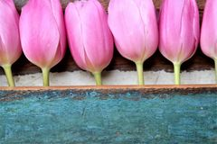 Pink tulips in a row, with painted wooden background, mother's day. Pink tulips in a row, with wooden background, painted in the color turquoise, with text Royalty Free Stock Images