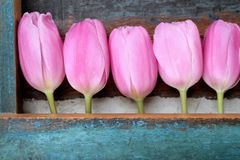Pink tulips in a row, mother's day. Pink tulips in a row, wooden background painted in the color turquoise Stock Photo