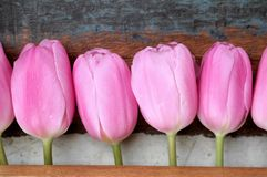Pink tulips in a row with wooden background, mothers' day. Pink tulips in a row, wooden background, top there is room for text Royalty Free Stock Photo