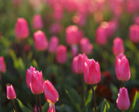 Pink tulips shot with shallow DOF, blurred in background Stock Images