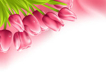 Pink tulips and silk isolated on white background Royalty Free Stock Photo
