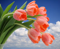 Pink Tulips Sky Background. Close up pink tulip bunch in bloom blue sky and clouds background stock image