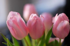 Pink tulips in soft color for background Stock Image