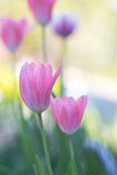 Pink tulips with soft focus on open space.