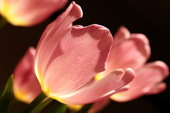 Pink tulips in soft lighting Royalty Free Stock Image