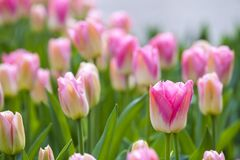 Pink tulips in the spring. Stock Images
