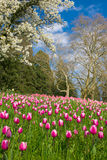 Pink tulips on spring field Stock Photos