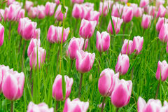Pink tulips on spring field Stock Image