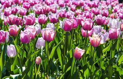 Pink tulips in the spring time. Beautiful pink tulips in the spring time Stock Photos