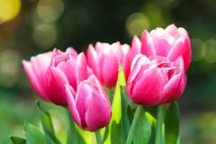 Pink tulips. Spring pink and white tulips blooming with green stalk in a garden field out of focus background. royalty free stock photo