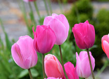 Pink Tulips. A stunning variety of Tulip grown in the spring and cut for beautiful displays indoors Royalty Free Stock Photos