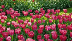 Pink tulips in the sun-drenched park of the Netherlands.  stock video