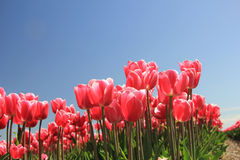 Pink tulips in sunlight Royalty Free Stock Photography