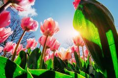 Pink tulips in the sunlight against the sky Stock Photo