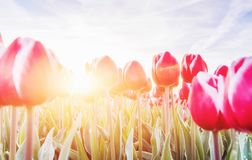 Pink tulips in the sunlight against the sky Stock Photos