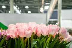 Pink tulips on a Sunny spring day, selective focus. Background. horizontal frame. Royalty Free Stock Photography