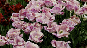 Pink tulips. Royalty Free Stock Photo