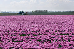 Pink tulips and tractor in dutch landscape Royalty Free Stock Image