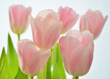 Pink tulips. Pink tulip. flowers of spring-time royalty free stock images