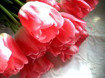 Pink tulips. Tulip, red, flower, wallpaper, postcard, gift, bright, white background stock photo