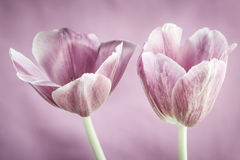 Pink tulips Stock Images