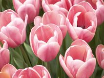 Pink Tulips Up Close. This is a close-up of a group of pink tulips royalty free stock photo