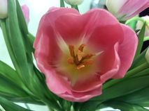 Pink tulips on Valentine`s day for your beloved Stock Images