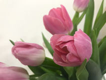 Pink tulips on Valentine`s day for your beloved Royalty Free Stock Photo